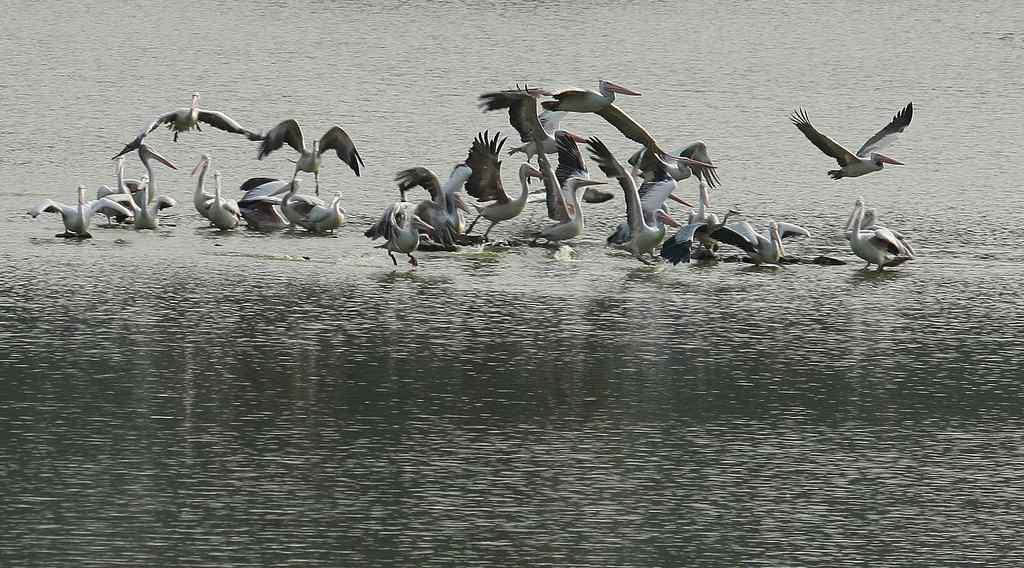 "Spotbill Pelicans at Hebbal Lake, Bangalore <br>By <a target=""_blank"" href=""http://www.flickr.com/photos/96521010@N00/"">Sandeep Menon Photography</a>"