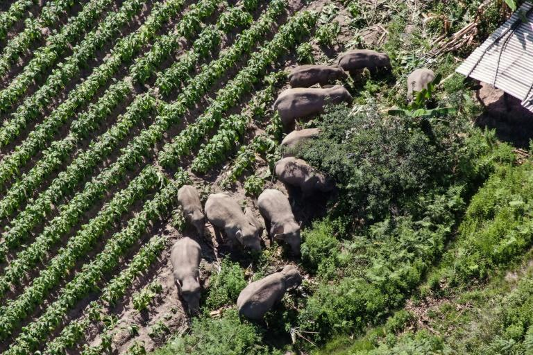 Why the elephants began their trek remains a puzzle