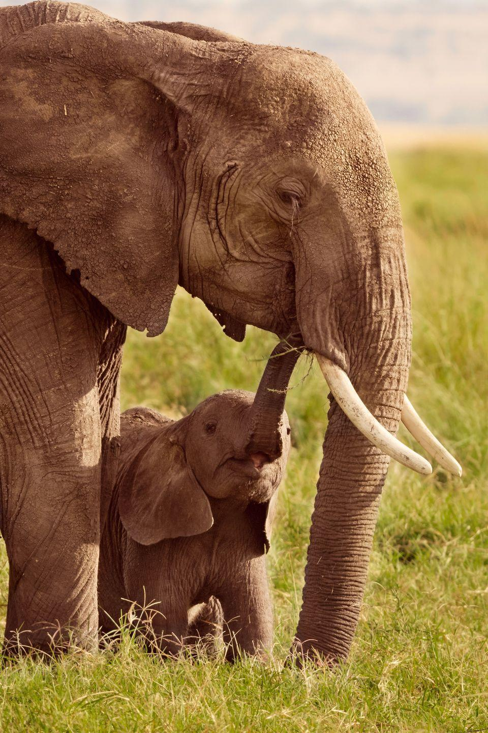 <p>Nine months is nothing: African elephants have the longest pregnancy of any mammal, which can last up to 2 years.</p>
