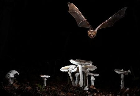 The greater mouse-eared bat (Myotis myotis) is shown in this undated handout photo taken in Brittany, France, released on February 7, 2018.  Courtesy Olivier Farcy/Handout via REUTERS