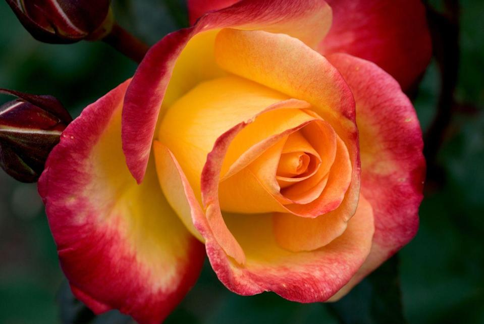 """<p>When yellow roses have red tips, however, they take on an entirely different meaning. These multicolor roses <a href=""""https://www.fiftyflowers.com/blog/rose-color-meanings/"""" rel=""""nofollow noopener"""" target=""""_blank"""" data-ylk=""""slk:mean"""" class=""""link rapid-noclick-resp"""">mean</a> """"falling in love,"""" so they're perfect for a new relationship — especially if you two were friends first. </p><p><a class=""""link rapid-noclick-resp"""" href=""""https://go.redirectingat.com?id=74968X1596630&url=https%3A%2F%2Fwww.1800flowers.com%2Fsunshine-roses-104514&sref=https%3A%2F%2Fwww.goodhousekeeping.com%2Fholidays%2Fvalentines-day-ideas%2Fg1352%2Frose-color-meanings%2F"""" rel=""""nofollow noopener"""" target=""""_blank"""" data-ylk=""""slk:SHOP YELLOW ROSES"""">SHOP YELLOW ROSES</a></p>"""