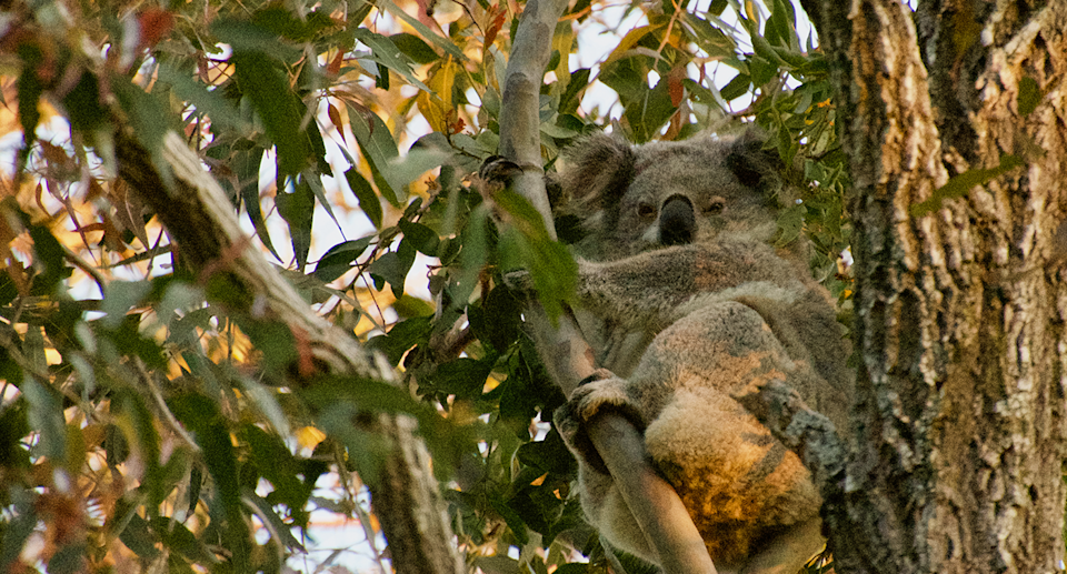 A female koala photographed near the mine site on August 30. Source: L.G. Howell