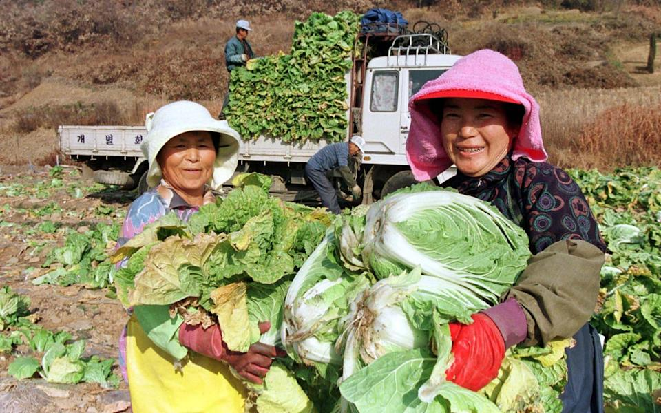 South Korean workers harvest the cabbage needed for the dish (file photo) - Yun Suk-bong REUTERS