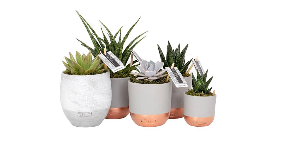 The Little Botanical Large Succulent Plant Gang