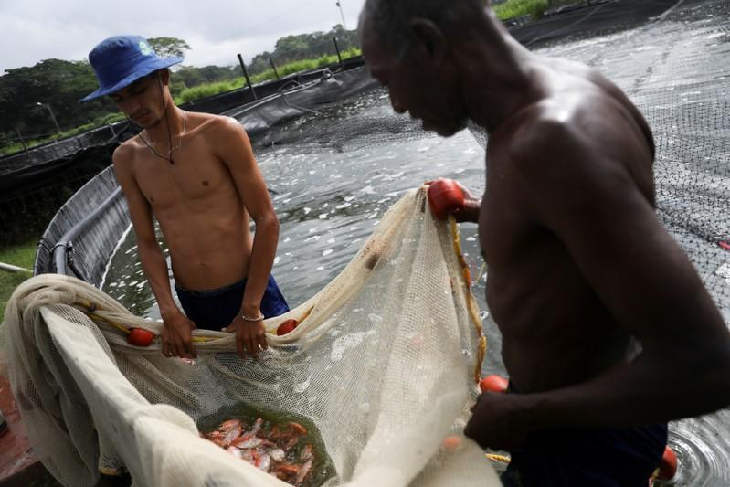 Workers hold a net with tilapias inside a tank at a tilapia fish farm in San Felipe