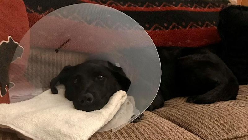 a dog waring a cone and recovering from an attack