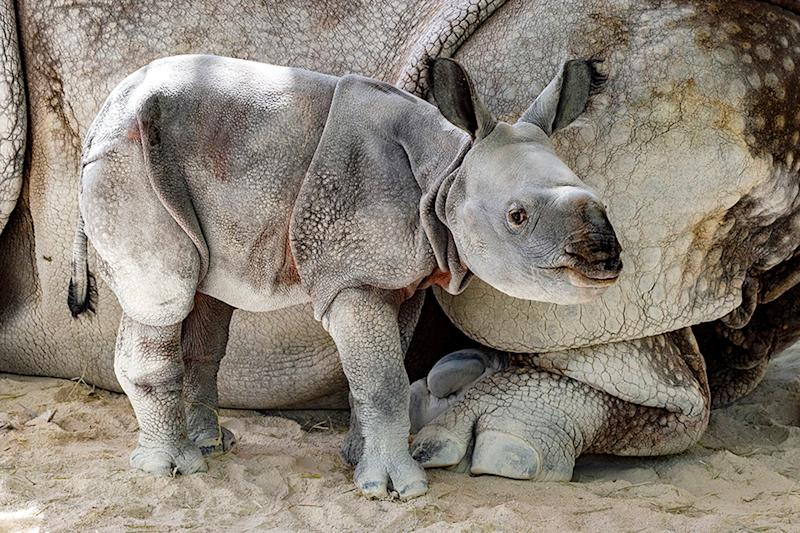 Adorable, Rare One-Horned Indian Rhino Born at Zoo Miami, the First by Artificial Insemination