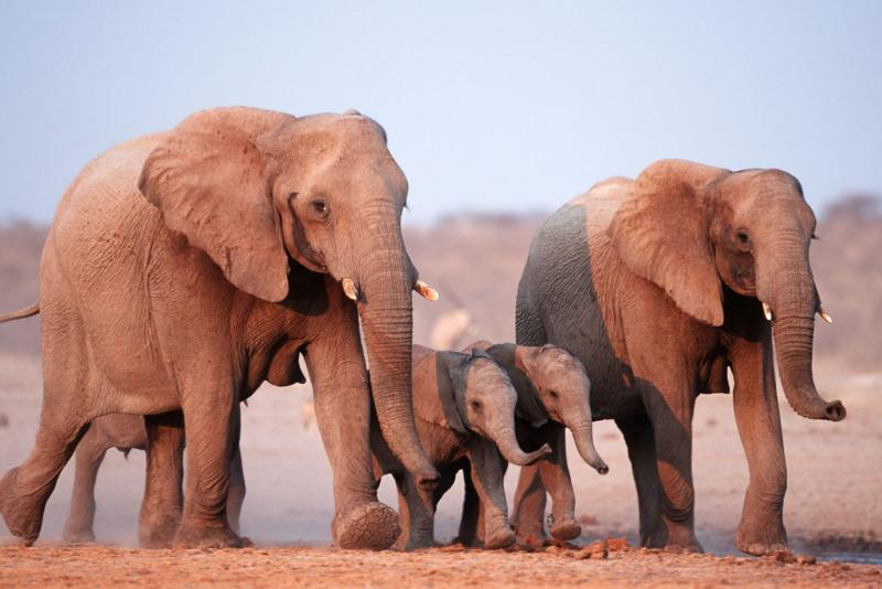 frican elephant, Loxodonta africana, family group running. Etosha National park, Namibia