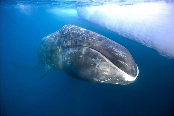 [Image: after-feeding-a-bowhead-whale-comes-paul....570.cache]