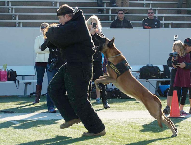 In this Oct. 25, 2013 photo provided by K9s4KIDS, security dog Sjors takes down a human decoy at the Texas K9 Officers Conference & Trials in Houston. Schools have beefed up security, staged mock drills and added metal detectors, cameras and alarms to prevent violence. Some think teachers should be armed and the National Rifle Association wants armed police in every American school. Kristi Schiller thinks some special dogs might do the trick. She wants her charity, K9s4KIDS, to do for schools what it's done for police departments in the U.S. - place scores of trained dogs among their ranks through the nonprofit set up in 2009. (AP Photo/K9s4KIDS, Billy Miller)