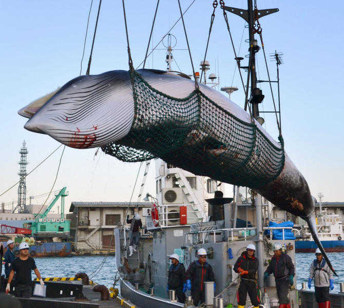 FILE - In this September, 2017, photo, a minke whale is unloaded at a port after a whaling for scientific purposes in Kushiro, in the northernmost main island of Hokkaido. Japan says it is leaving the International Whaling Commission to resume commercial hunts but says it will no longer go to the Antarctic to hunt. Chief Cabinet Secretary Yoshihide Suga said Wednesday, Dec. 26, 2018, that Japan's commercial whaling will be limited to its territorial and economic waters.(Kyodo News via AP, File)