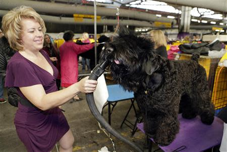Elena Pleskov blow dries her Black Russian Terrier, Rob, prior to competing in the 138th Westminster Kennel Club Dog Show in New York, February 11, 2014. REUTERS/Ray Stubblebine