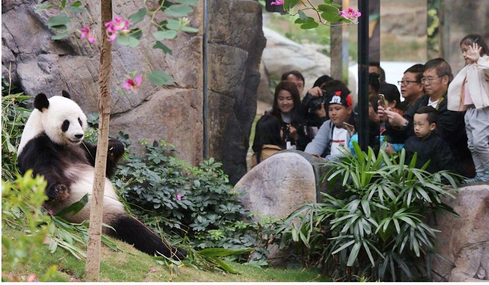 The pandas were a popular draw at Ocean Park. Photo: Xiaomei Chen