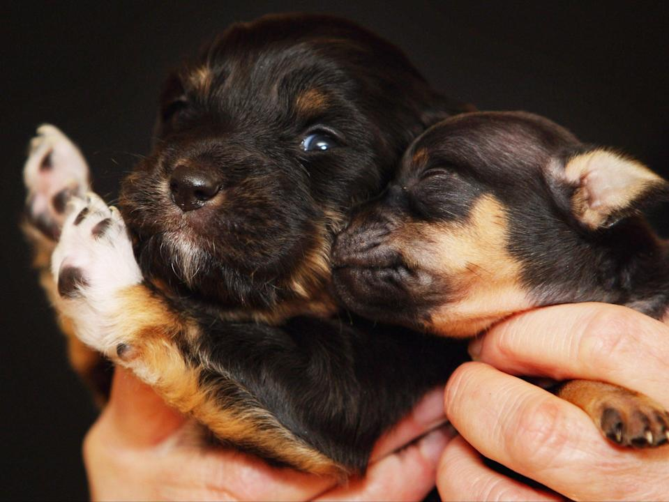 Parvovirus is most deadly among puppies, sometimes killing up to 92 per cent of all infected young dogs (Getty)