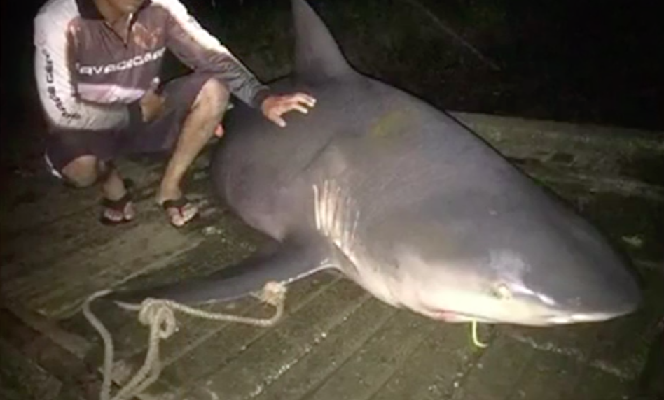 A bull shark pulled from Sydney's waterways in 2016. Source: 7News