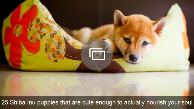 25 Shiba Inu puppies that are cute enough to actually nourish your soul