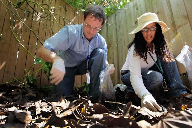 MIAMI, FL - SEPTEMBER 15: Dr. Keith Richardson (L), Florida Department of Agriculture, and Olga Garcia, Environmental Specialist Florida Department of Agriculture, look for Giant African land snails as they work on eradicating a population of the invasive species in Miami-Dade County on September 15, 2011 in Miami, Florida. The Giant African land snail is one of the most damaging snails in the world because they consume at least 500 different types of plants, can cause structural damage to plaster and stucco, and can carry a parasitic nematode that can lead to meningitis in humans. The snail is one of the largest land snails in the world, growing up to eight inches in length and more than four inches in diameter. (Photo by Joe Raedle/Getty Images)