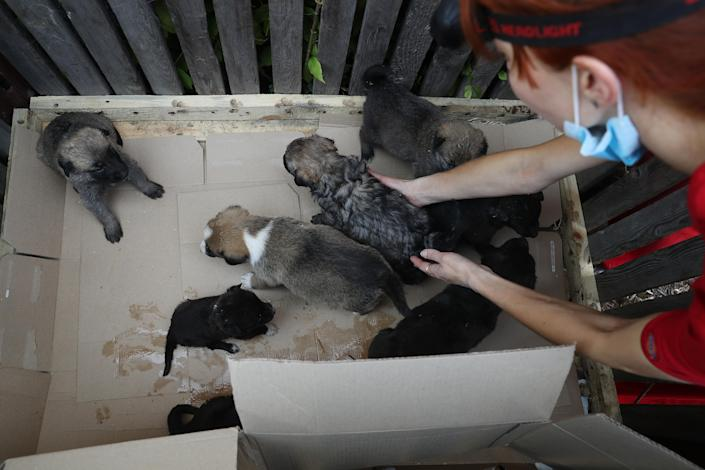 <p>Anna Sovtus, a Ukrainian veterinarian working with the Dogs of Chernobyl initiative, reaches for stray puppies in an enclosure at a makeshift veterinary clinic inside the Chernobyl exclusion zone on Aug. 17, 2017, in Chernobyl, Ukraine. (Photo: Sean Gallup/Getty Images) </p>