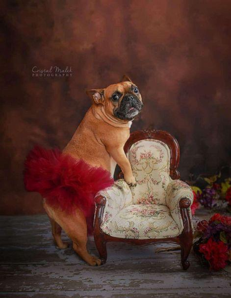PHOTO: Cozette the bulldogs works her angles in maternity shoot. (Cristal Malek Photography)