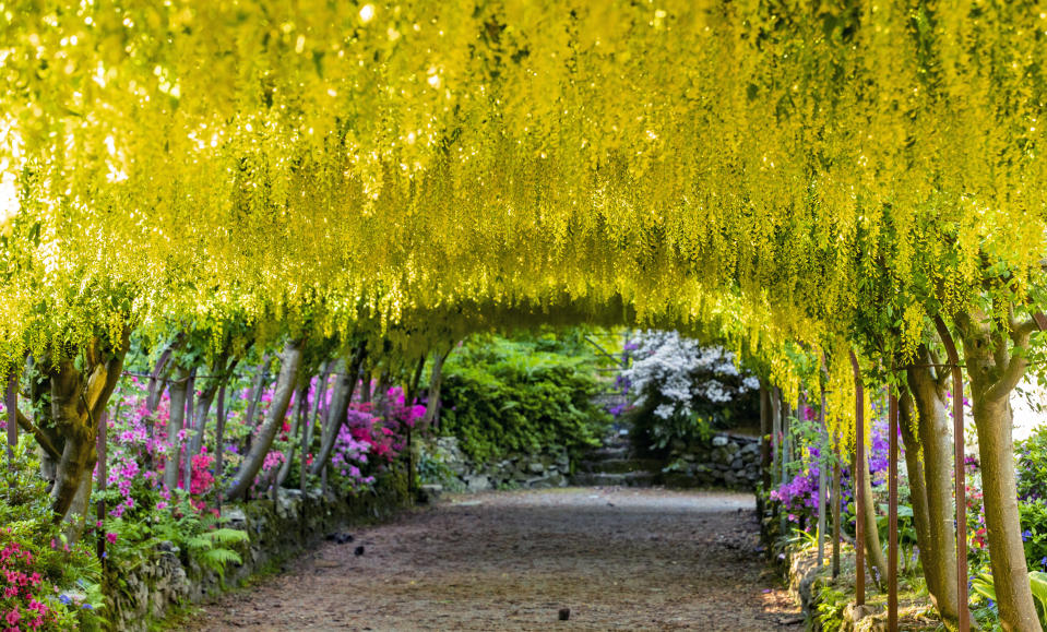 The golden laburnum arch at the National Trust's Bodnant Gardens near Colwyn Bay, as the gardens remain closed to visitors in May. That season it was the earliest that the 145-year-old laburnum arch had flowered in a decade (Peter Byrne/PA)