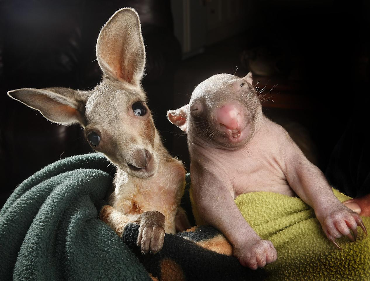 "Anzac the joey and Peggy the wombat have become best friends after sharing a pouch together at the Wildlife Kilmore Rescue Centre in Victoria, Australia. Worker Lisa Milligan said the unlikely friends are comforted by each other's movement and heartbeat. She said: ""There are lots of baby animals about at the moment, and they are orphaned for a range of reasons."" (Rex)"