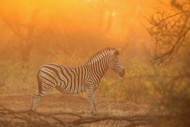 A zebra stretches at the Pafuri game reserve in Kruger National Park, South Africa. Kruger National Park is one of the largest game reserves in South Africa spanning 19,000 square kilometres and is part of the Great Limpopo Transfrontier Park.
