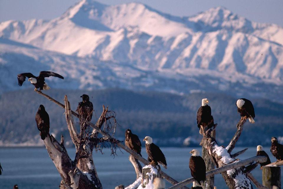 <p>Bald eagles in Homer, Alaska // Date unknown</p>
