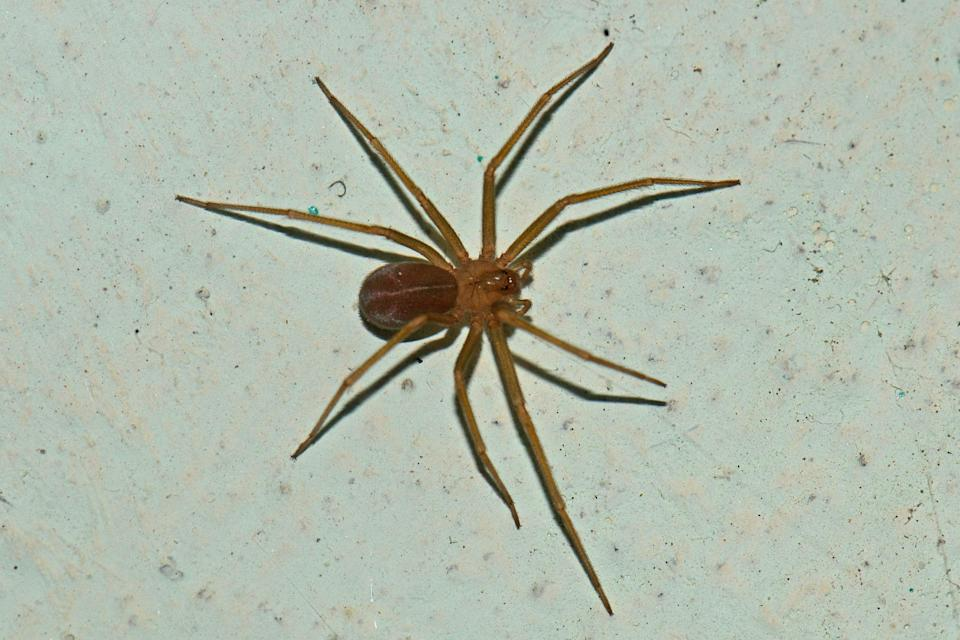 <p>University of Michigan officials discovered Mediterranean recluse spiders in a campus library</p> (Flickr/Vijay Anand Ismavel)