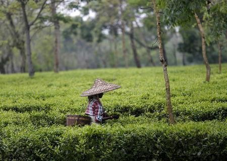 A tea garden worker wearing a jappi hat made out of bamboo and palm leaves plucks tea leaves inside Aideobarie Tea Estate in Jorhat in Assam, India, April 21, 2015. REUTERS/Ahmad Masood