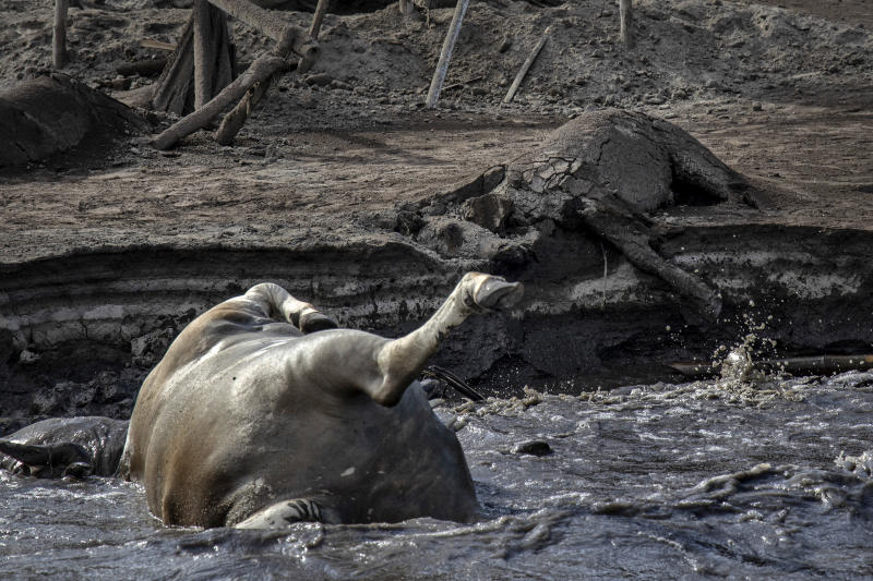 The carcass of a horse is seen buried in volcanic ash from Taal Volcano's eruption next to the carcass of a cow floating on the shore, on January 14, 2020 in Taal Volcano Island, Batangas province, Philippines. An estimated $10 million worth of crops and livestock have been damaged by the on-going eruption, according to the country's agriculture department. (Photo: Ezra Acayan/Getty Images)