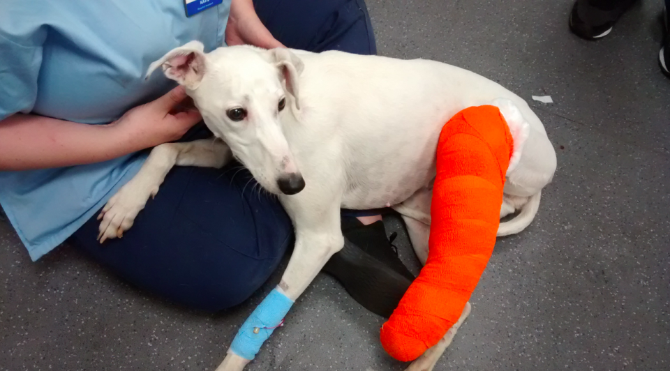<em>The female lurcher-type had an open fracture to one of her rear legs (RSPCA)</em>