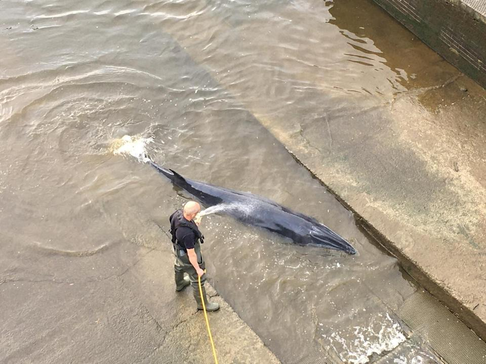 Conservation experts believe it is the furthest upstream that any whale has even been seen in the Thames