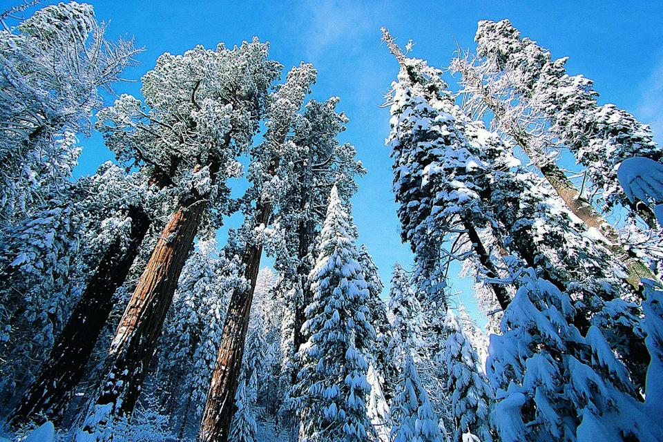 <p>Watch out for snow falling from the trees while walking through Sequoia National Park, California.</p>