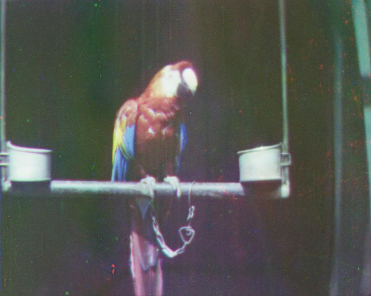 In this image released by Britain's National Media Museum on Wednesday, Sept. 12, 2012, a scarlet Macaw on a perch, circa 1902, is depicted amongst the earliest colour moving pictures ever made, which have been rediscovered after more than 100 years. The footage, made by cinematic pioneer Edward Turner in around 1901, was found in the archives of the National Media Museum in Bradford and with the help of experts at the BFI National Archive was transformed into watchable digital files. (AP Photo/National Media Museum)