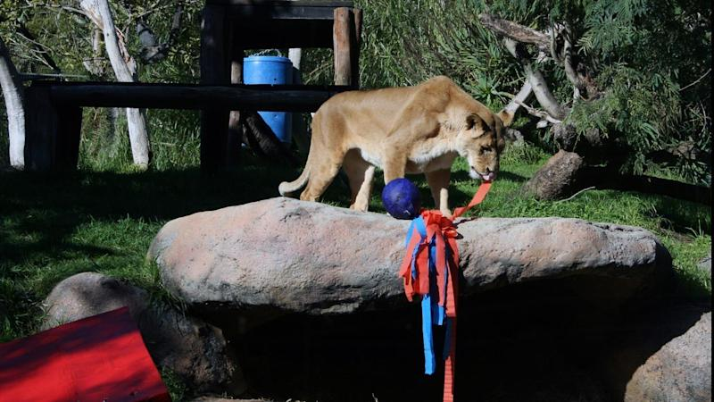 Perth Zoo's 9 year-old tiger Jaya and 18-year-old lioness Shinyanga have celebrated their birthdays.
