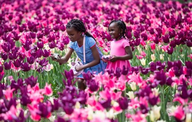 Mandy, 7, and Kiki Kennedy, 3, take photos among the tulips at Commissioner's Park during the Canadian Tulip Festival in Ottawa on May 16, 2021. (Justin Tang/Canadian Press - image credit)