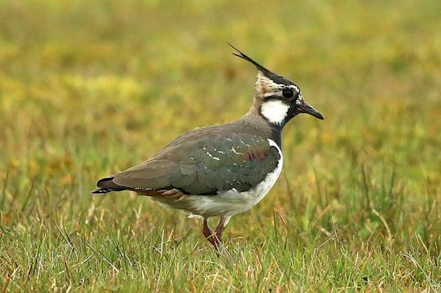 File photo dated 18/4/2015 of a Lapwing, one of the world's most threatened birds has found a sanctuary within Maghaberry prison, used for housing the most dangerous inmates in Northern Ireland. PRESS ASSOCIATION Photo. Picture date: Monday April 20, 2015. Life sentence prisoners helped create the habitat for around 20 pairs of breeding lapwings which have made their home at HMP Maghaberry on a marshy no-man's-land dominated by razor wire and lookouts behind reinforced glass. See PA story ULSTER Maghaberry. Photo credit should read: Niall Carson/PA Wire