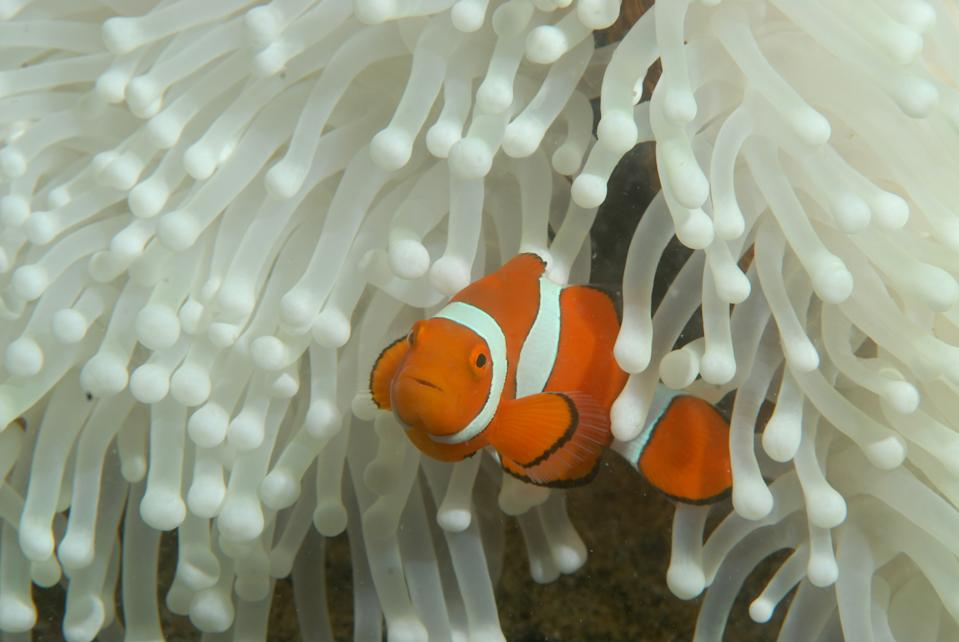 An orange clown fight stares at the camera, it is swimming out of a white anemone.