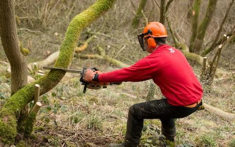 Luke Barley, A National Trust ranger at work felling ash trees infected with dieback near Ilam in the Derbyshire Peak District. - Credit: Andrew Fox