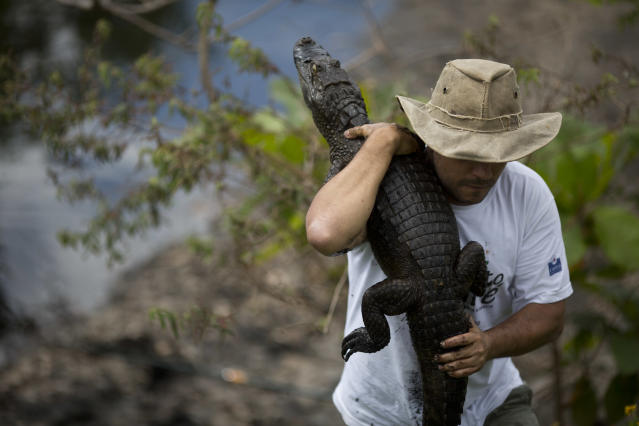 In this Oct. 14, 2013 photo, ecology professor Ricardo Freitas holds onto to a broad-snouted caiman he caught to examine, then release back into the water channel in the affluent Recreio dos Bandeirantes suburb of Rio de Janeiro, Brazil. With a population that's 85 percent male, a serious demographic problem is looming for Rio's caimans, said Freitas, who suspects that the uncontrolled release of raw sewage is behind the gender imbalance. Organic matter raises water warmer and among caimans, high temperatures during a certain stage of incubation result in male offspring. (AP Photo/Felipe Dana)
