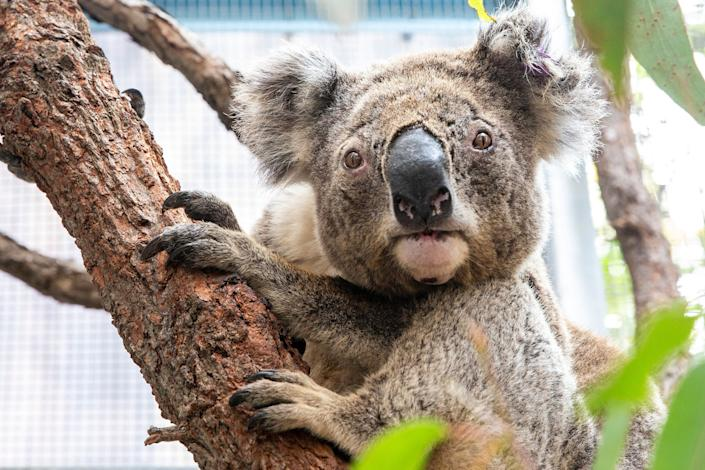 Purkunas the koala at Taronga Zoo's Wildlife Hospital in Sydney. The zoo has received a $1 million boost in the wake of the fires to continue its conservation efforts. (Photo: Jenny Evans via Getty Images)