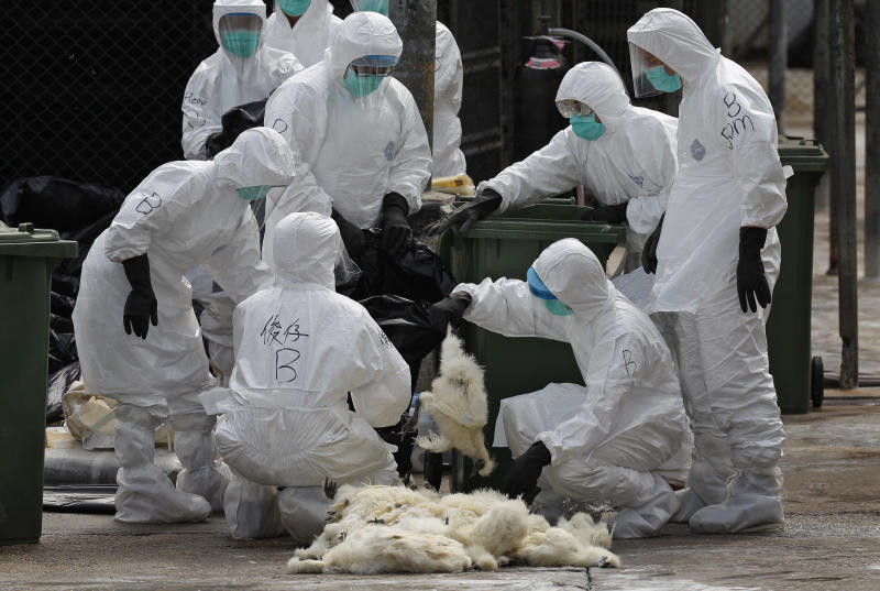Health workers in full protective gear pick up a killed chicken after suffocated them by using carbon dioxide at a wholesale poultry market in Hong Kong, Tuesday, Jan. 28, 2014. Hong Kong authorities began culling 20,000 birds at a wholesale market after poultry from southern mainland China tested positive for the H7N9 virus, the first time it had been found in imported poultry in Hong Kong. (AP Photo/Vincent Yu)