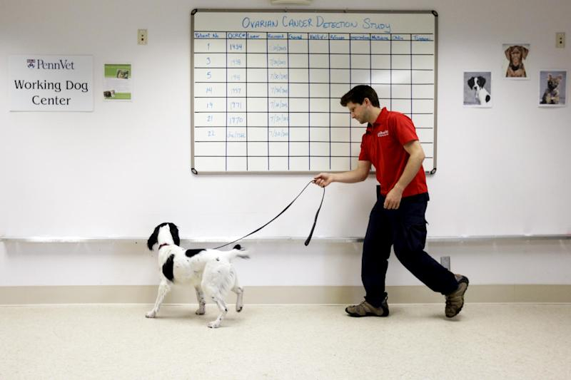 In this Thursday, Aug. 1, 2013 photo, Jonathan Ball practices with McBaine in the first round of training for a study that will eventually involve detecting cancerous tissue at Penn Vet Working Dog Center in Philadelphia. (AP Photo/Matt Rourke)