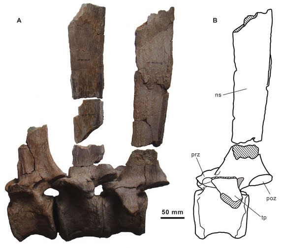 The vertebrae (bottom) and the neural spines (top) that would have supported the dinosaur's sail.