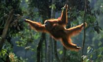<p>Sumatran orangutans live in the treetops of Borneo and Sumatra, and are threatened by loss of habitat and illegal trade. (Photo: WWF) </p>