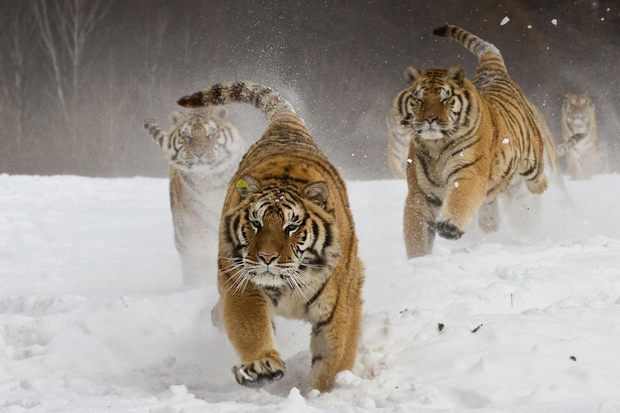 'Got to get it': Feeding time for wild Siberan tigers in China (James Chong)