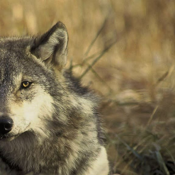 Critics of the proposal to delist gray wolves argue that the decision is premature. They say stripping wolves of their federal protections could hurt the animals' chance of recolonizing other parts of their historic range, such as Colorado and