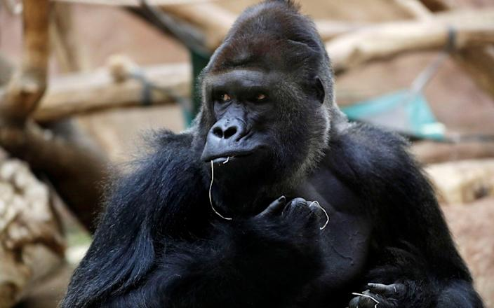 Richard, a western lowland gorilla, who was tested positive for COVID-19 on February 25, 2021, sits inside its enclosure at closed Prague Zoo - Reuters