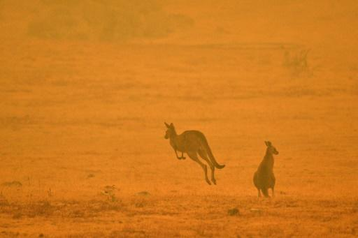 A kangaroo jumps in a field amidst smoke from a bushfire in Snowy Valley on the outskirts of Cooma in January