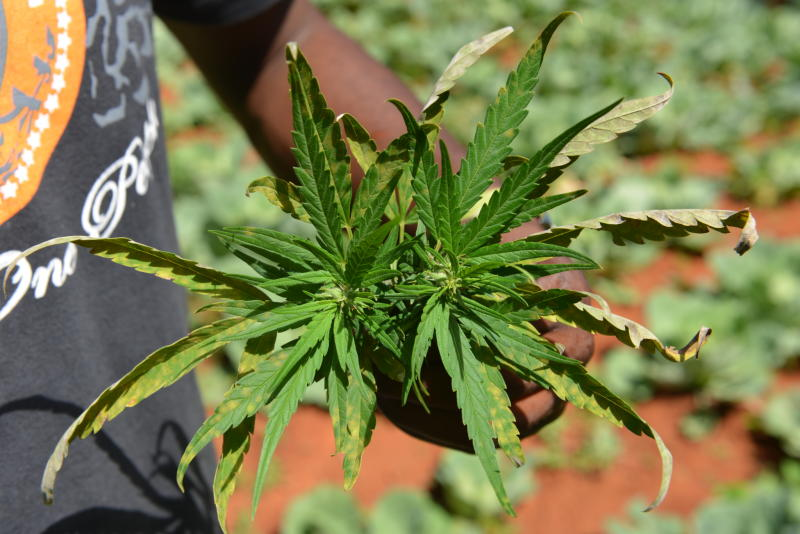 "In this Aug. 29, 2013 photo, farmer Breezy shows off the distinctive leaves of a marijuana plant during a tour of his plantation in Jamaica's central mountain town of Nine Mile. While legalization drives have scored major victories in recent months in places like Colorado and Washington _ and the government of the South American nation of Uruguay is moving toward getting into the pot business itself _ the plant is still illegal in Jamaica, where it is known popularly as ""ganja."" (AP Photo/David McFadden)"